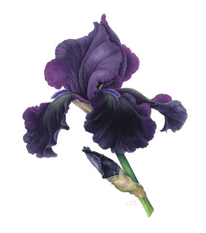 Iris 'Black Tie Affair'