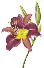 Hemerocallis Chicago Princess