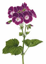Pelargonium Black Knight
